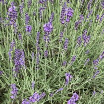 Lavender Image on Every Day is an Occasion